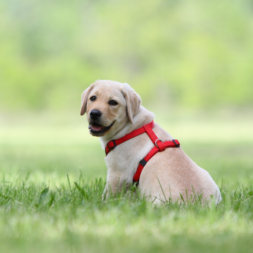Dog with harness dog get free image about wiring diagram