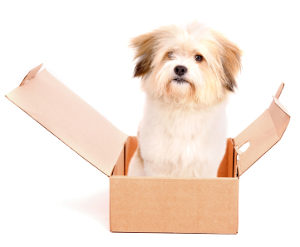 little dog on a box isolated in white