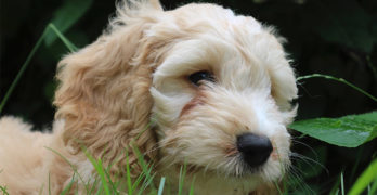 Cockapoo – The Cocker Spaniel Poodle Mix Breed