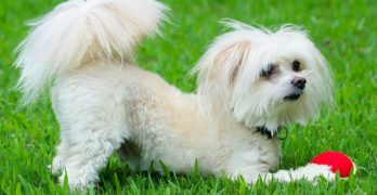 Maltipoo – The Maltese Poodle Mix Breed