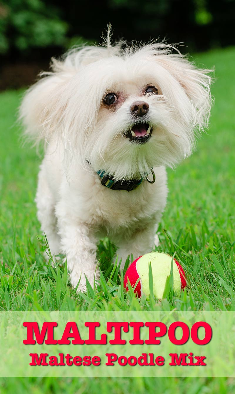 Maltipoo - Maltese Poodle Mix