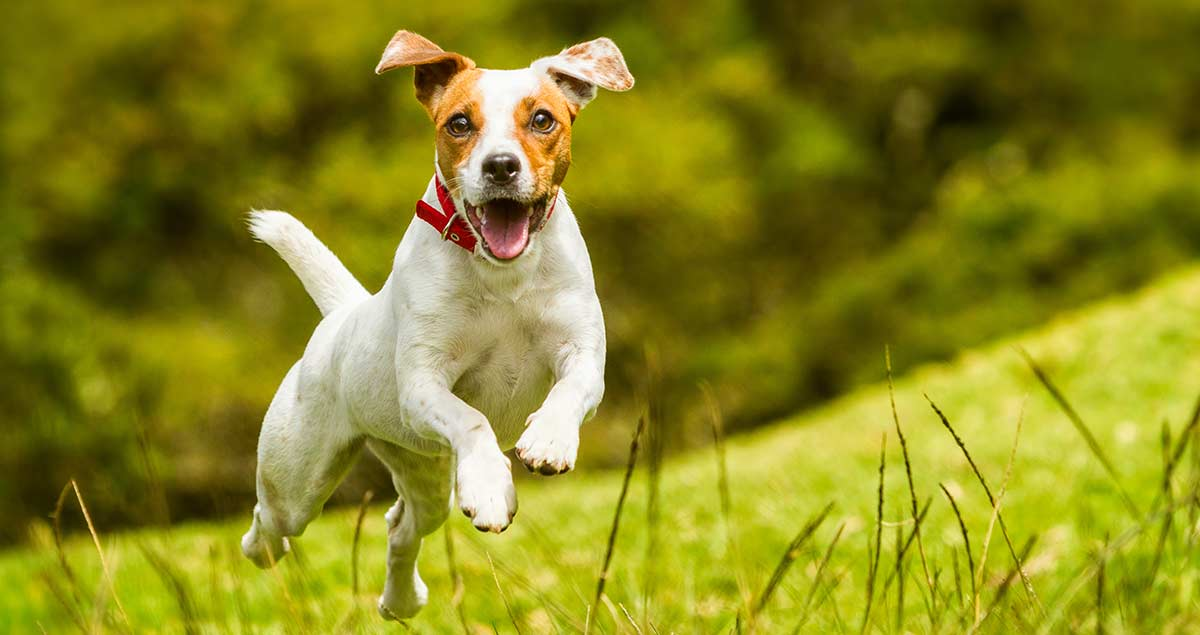 dog running to recall whistle