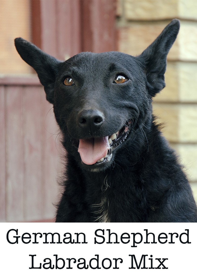 The German Shepherd Lab Mix What Can You Expect