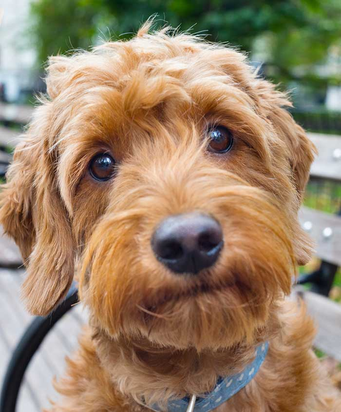 The gorgeous Goldendoodle