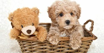 Teddy Bear Dog – Is This The Ultimate In Cuddly Companionship?