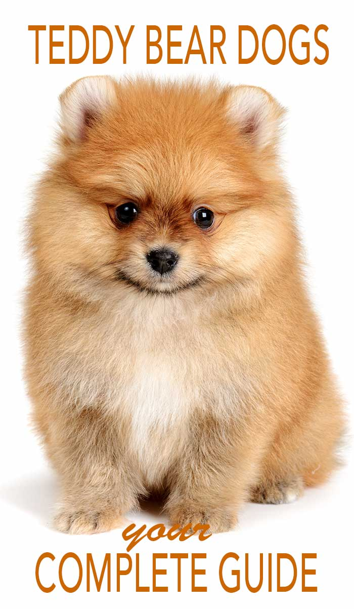 Everything you ever wanted to know about Teddy Bear Dogs