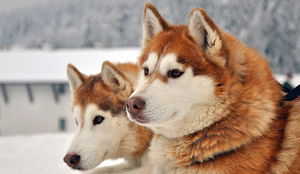 Breeds Of Siberian Sled Dogs