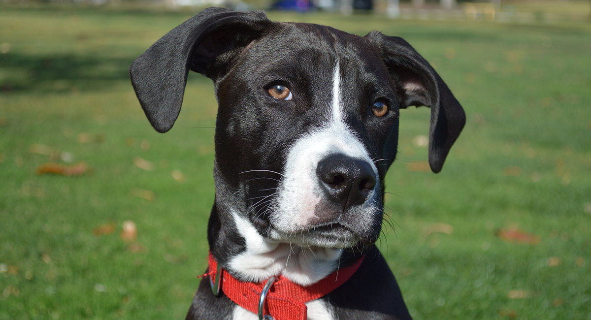 boxador looking at the beautiful boxer lab mix puppy