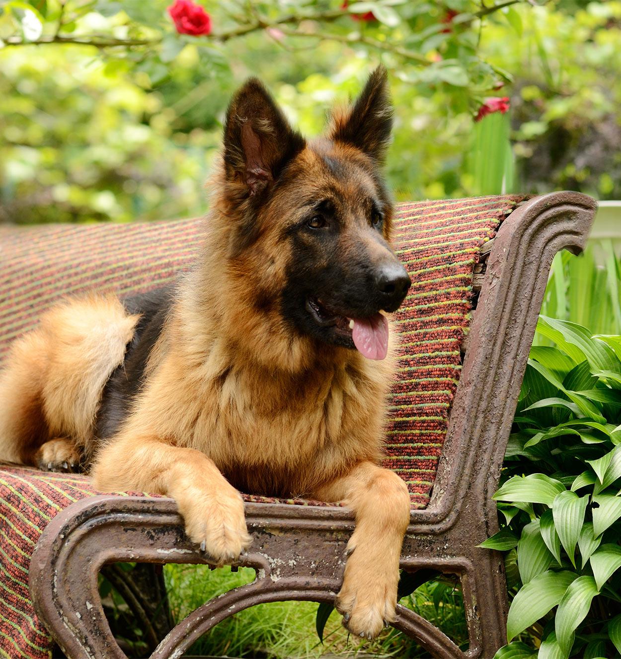 best shampoo for german shepherd dogs