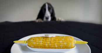 Can Dogs Eat Corn
