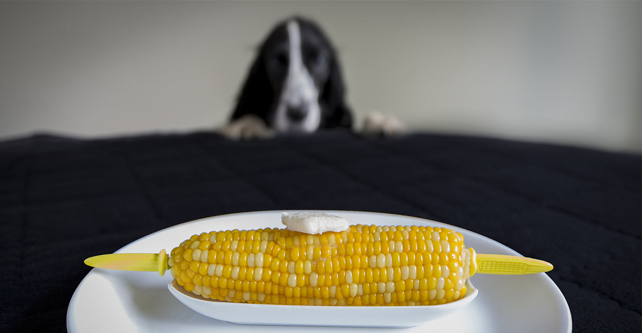 Can Dogs Eat Boiled Corn
