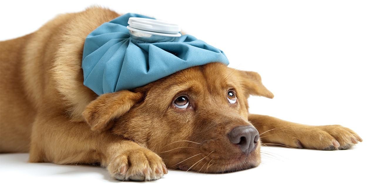 Hydrogen Peroxide When Dog Eats Chocolate