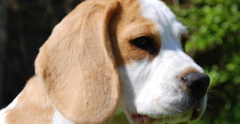 Lemon Beagle Facts