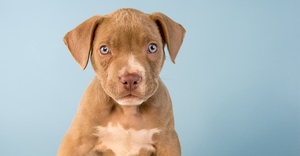 Is A Pitbull Lab Mix Puppy The Right Family Pet For Me?