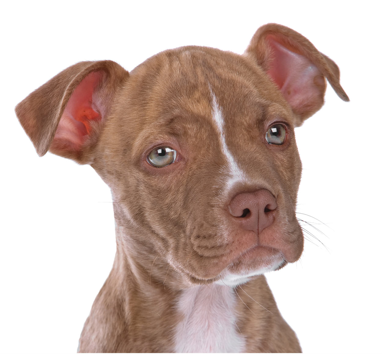 Red Nose Pitbull Dogs - 30 Things You Never Knew About Them!