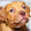 Red Nose Pitbull Facts