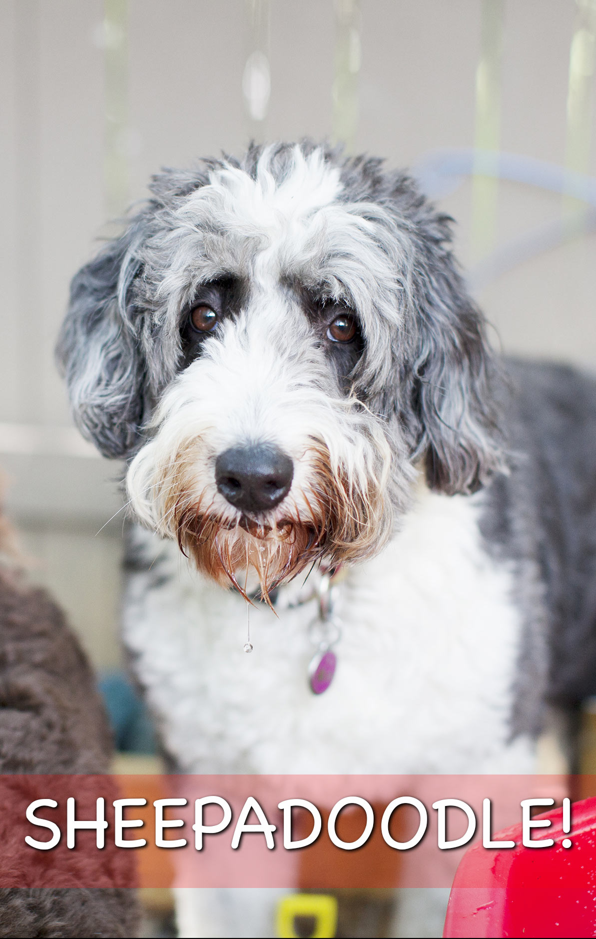 sheepadoodle the result of mixing poodles with old