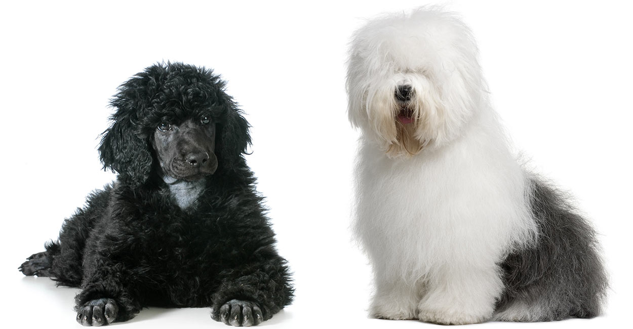 Sheepadoodle - The Standard Poodle Old English Sheepdog Mix