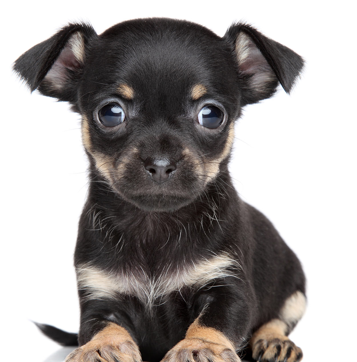chihuahua and terrier mix terrier mix a guide to the most popular terrier cross breeds 3435