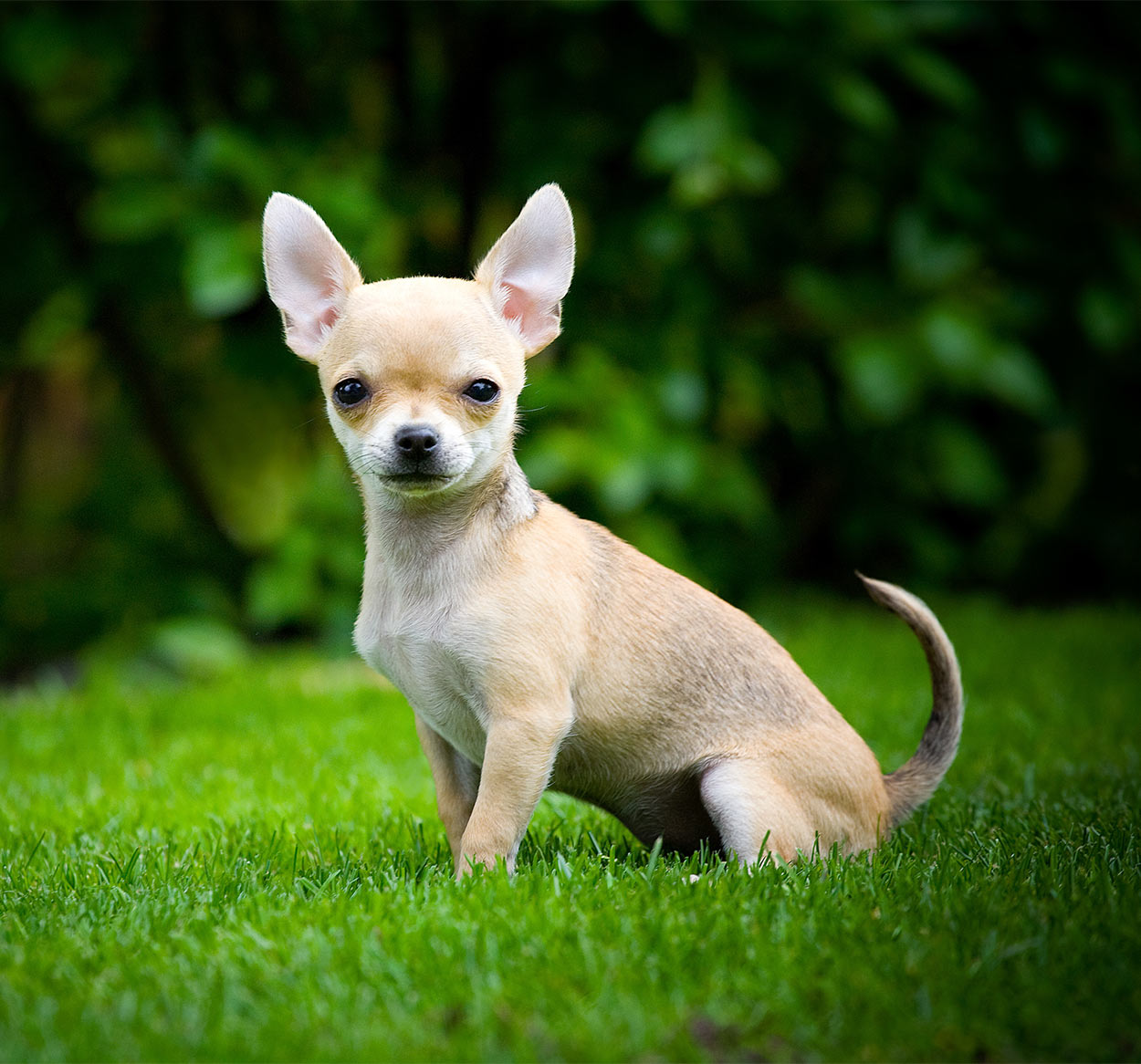 The Smallest Dog In The World - A Giant Guide To Tiny Breeds