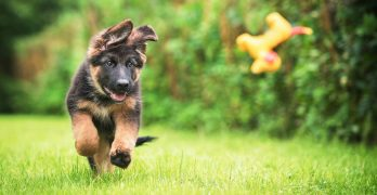 german shepherd puppy chases a toy