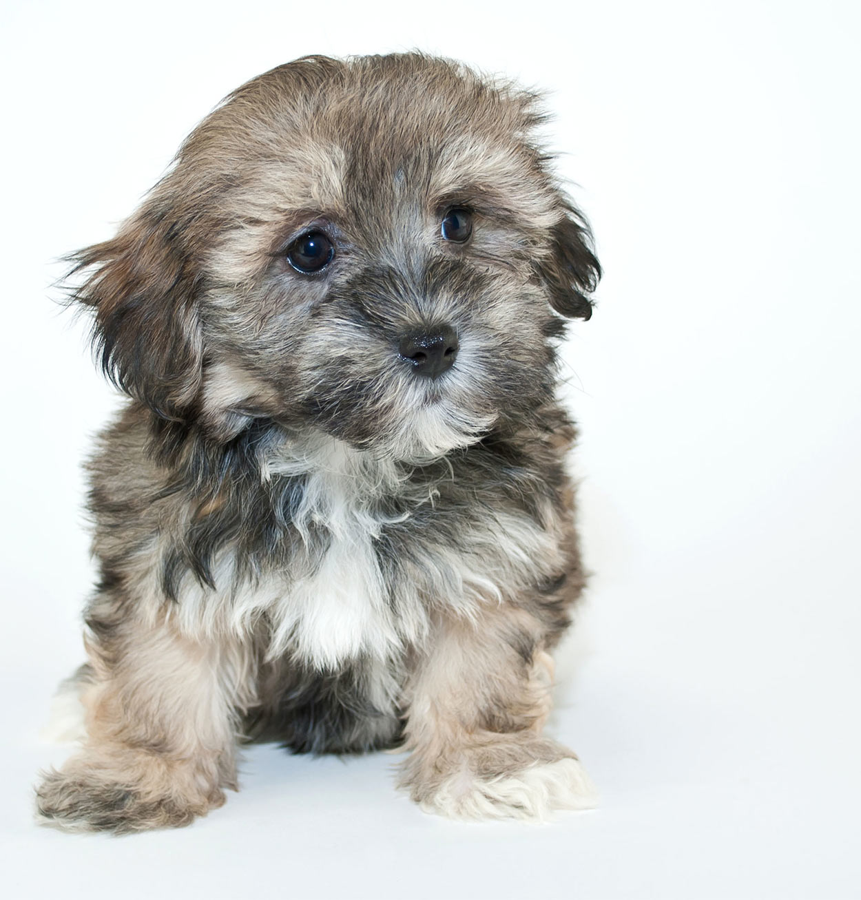 havanese - a contender for smallest dog in the world