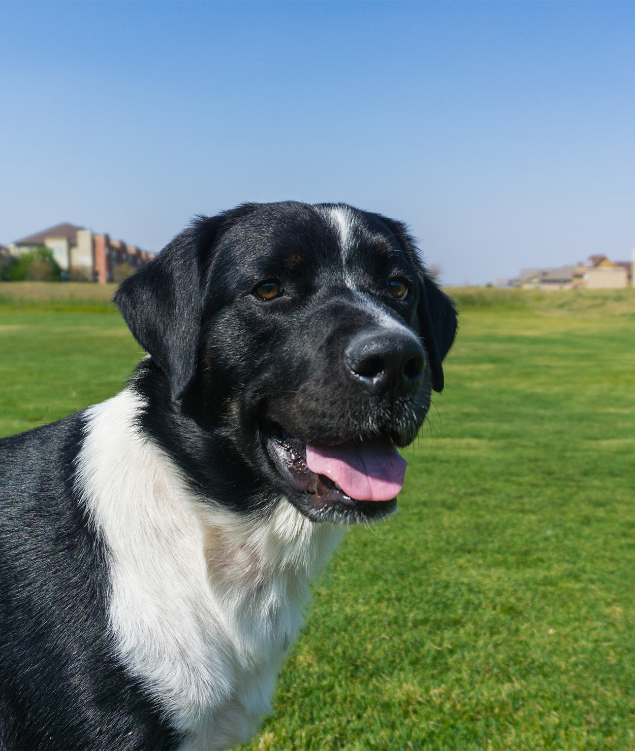 Labernese - Bernese Mountain Dog Lab Mix