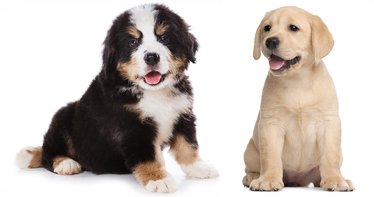 Bernese Mountain Dog Newfoundland Mix Puppies