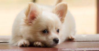 Pomchi – The Pomeranian Chihuahua Mix