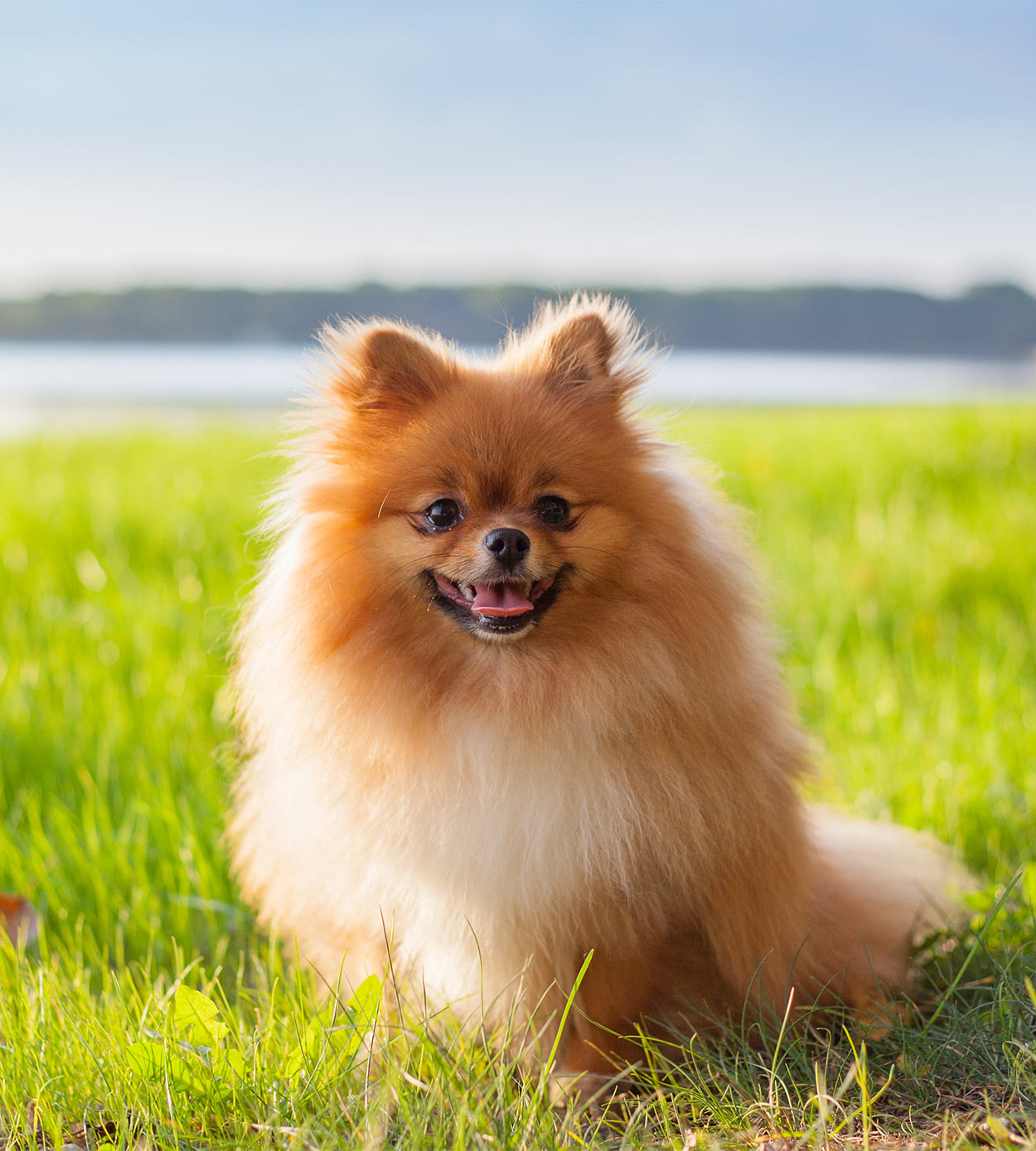 pomeranian - a contender for smallest dog in the world