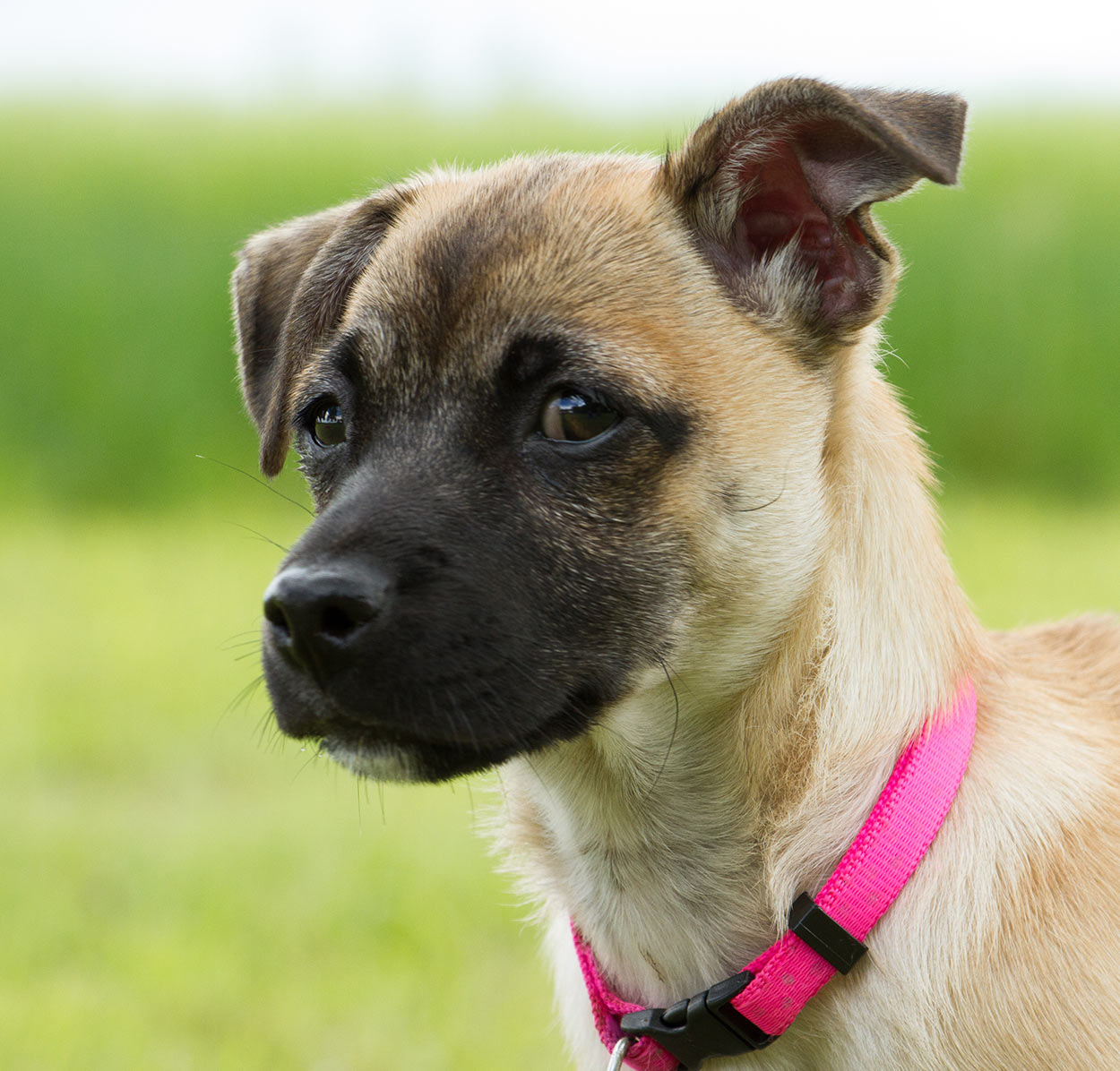 terrier pug mix