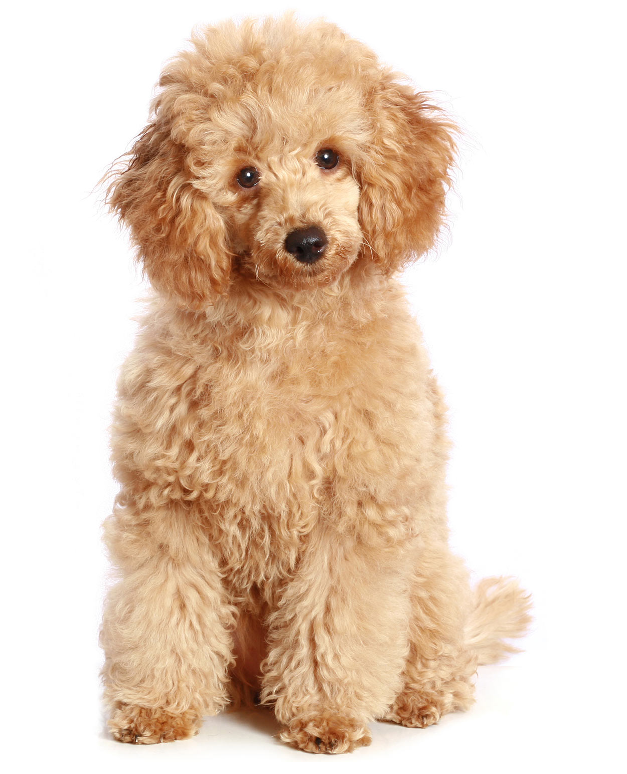 toy poodle - a contender for smallest dog in the world