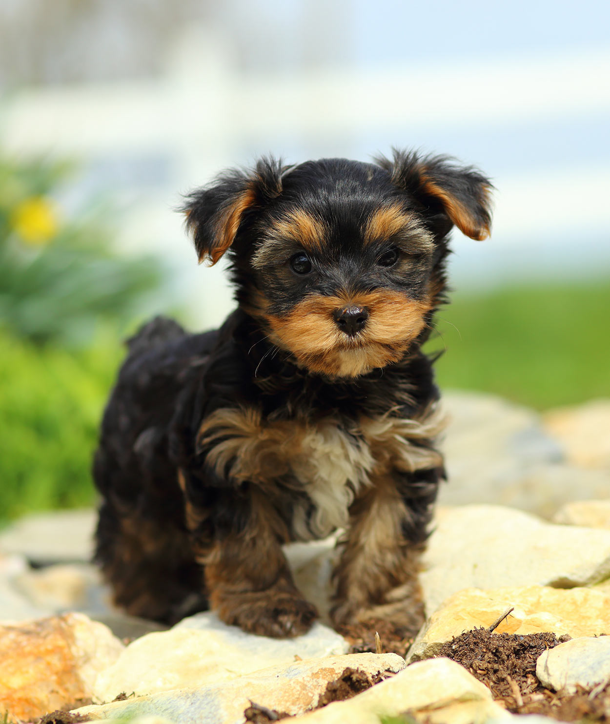 yorkshire terrier - a contender for smallest dog in the world