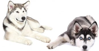 Alaskan Malamute vs Siberian Husky – We Help You Decide