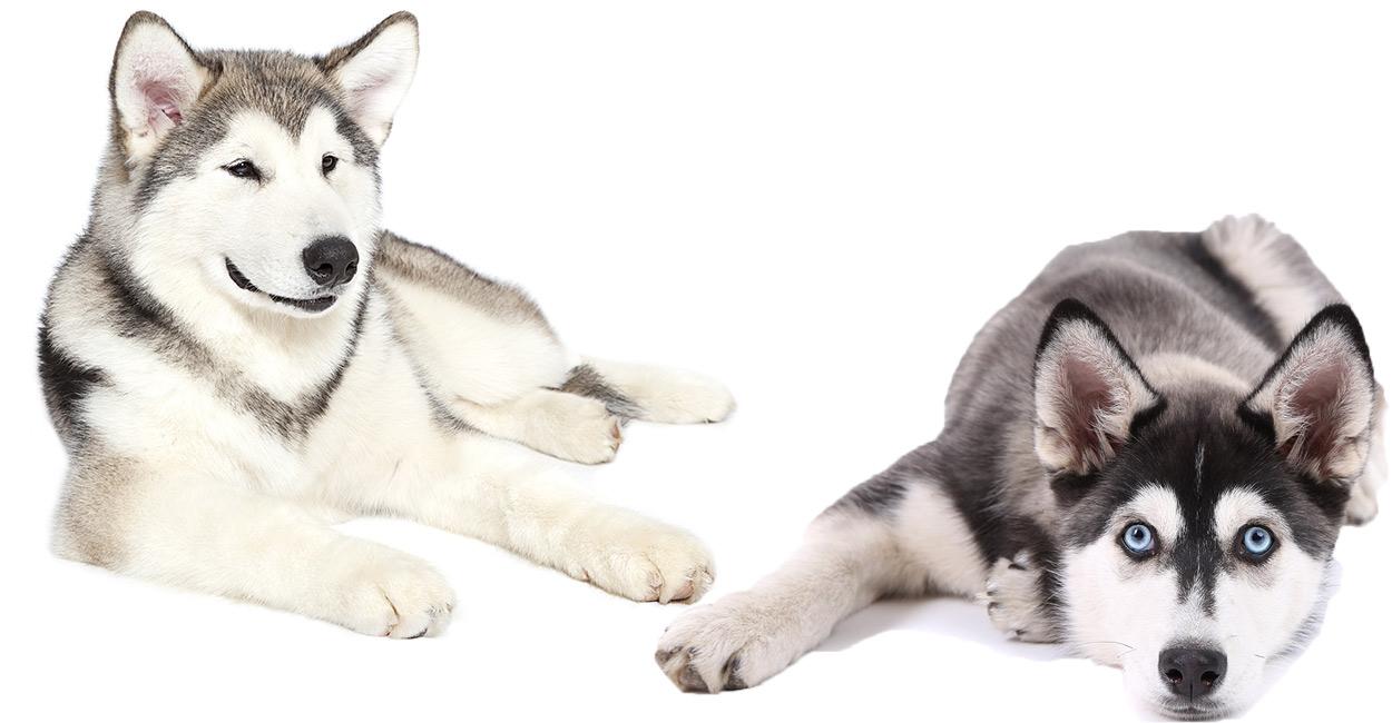 alaskan malamute vs siberian husky we help you decide