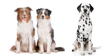 Australian Shepherd Dalmatian Mix: Is It Right For You?