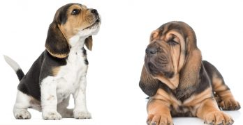 Beagle Bloodhound Mix