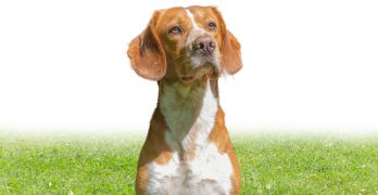 The Beagle Lab Mix – A Winning Combination?