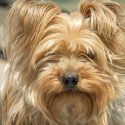 The Best Brush for Yorkies And Their Lovely Long Fur