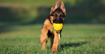 Best Chew Toys for German Shepherd Dogs