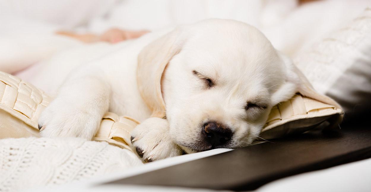 best dog beds for labs header