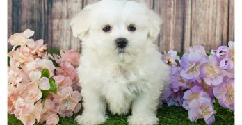 Best Dog Food For Maltipoo Puppies, Dogs and Seniors
