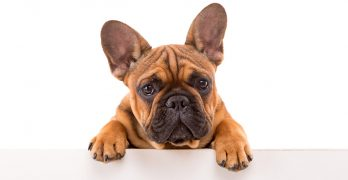 Best Food for French Bulldogs