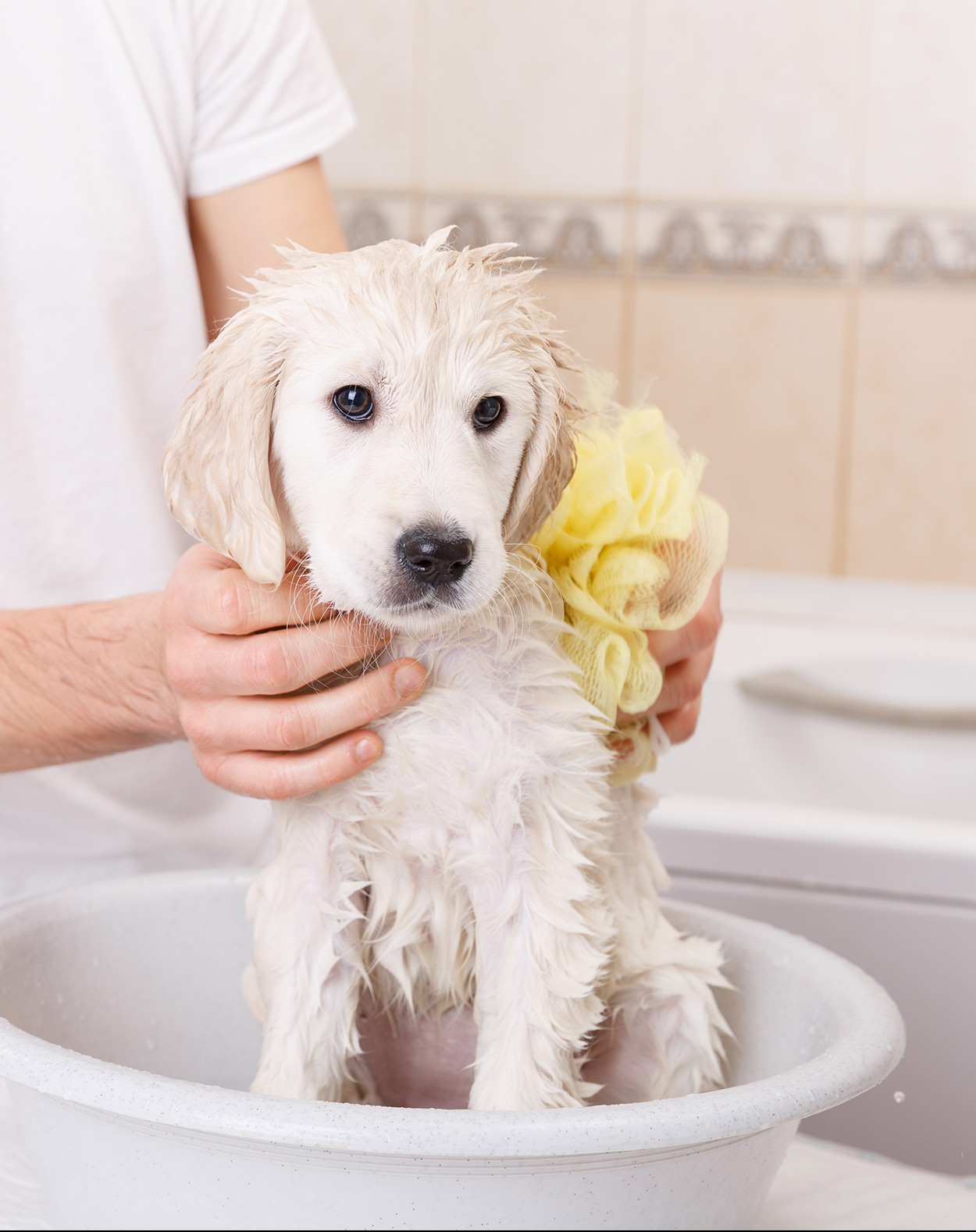 best shampoo for golden retriever dogs