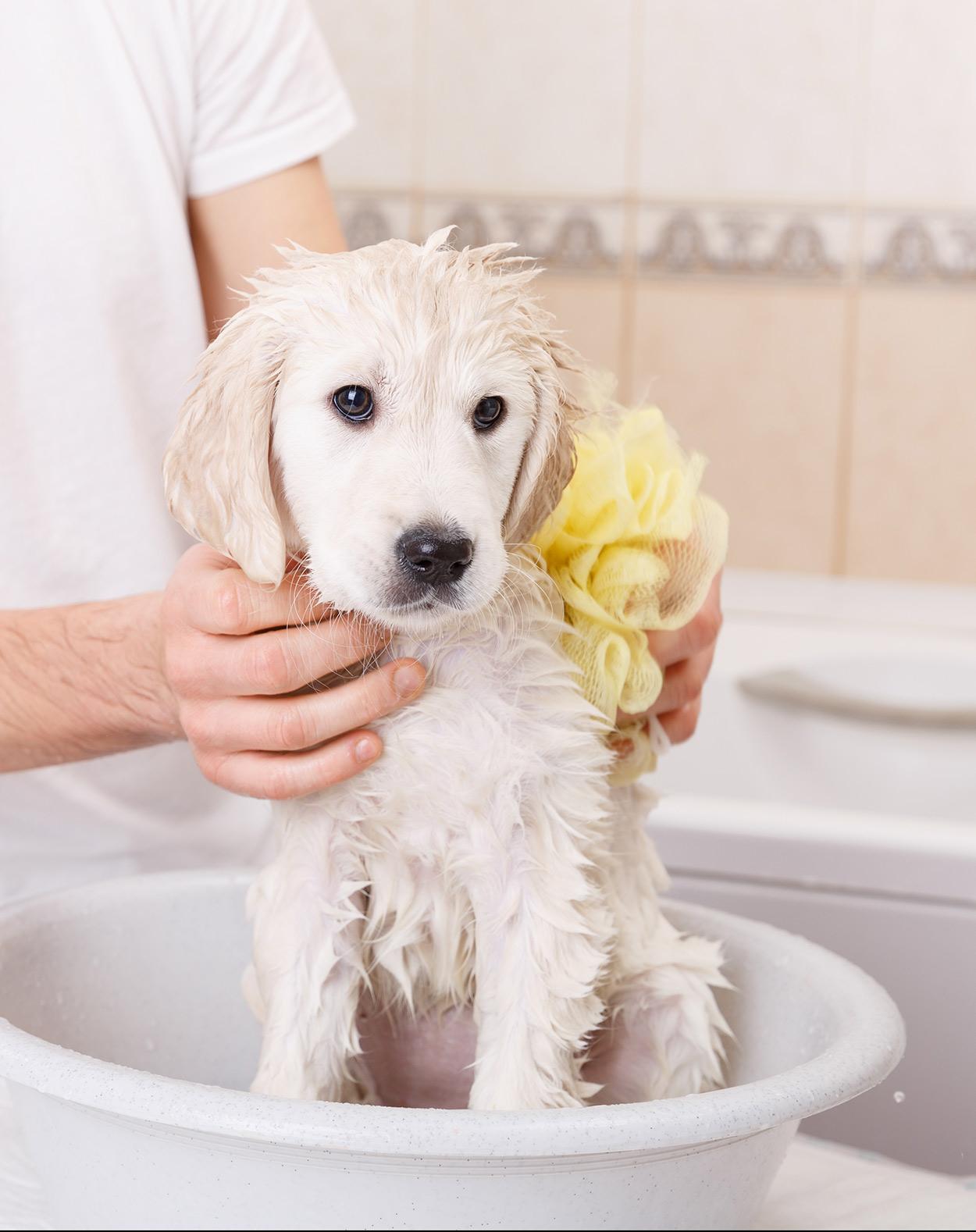 best shampoo for golden retriever dogs