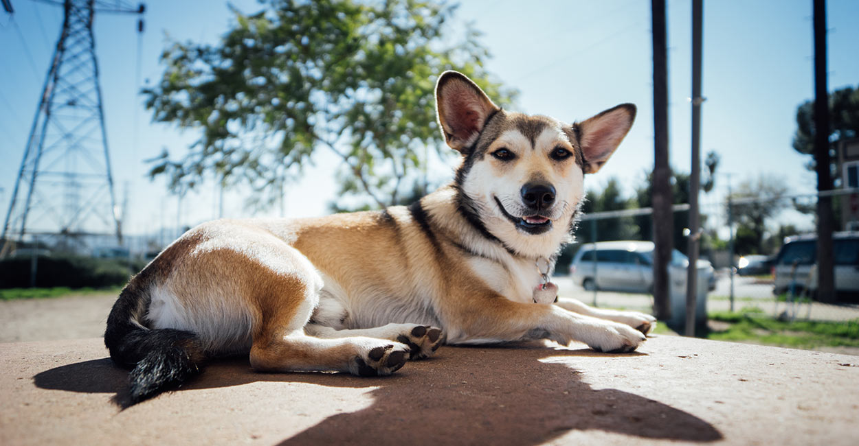 Corgi Husky Mix - Totally Dog Training