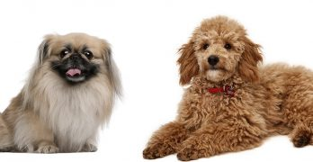 Peekapoo Dog – The Pekingese Poodle Mix