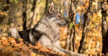 Saarloos Wolfdog – A Really Wild Pet