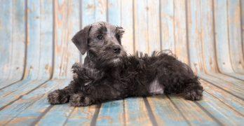 Schnoodle: The Schnauzer Poodle Mix