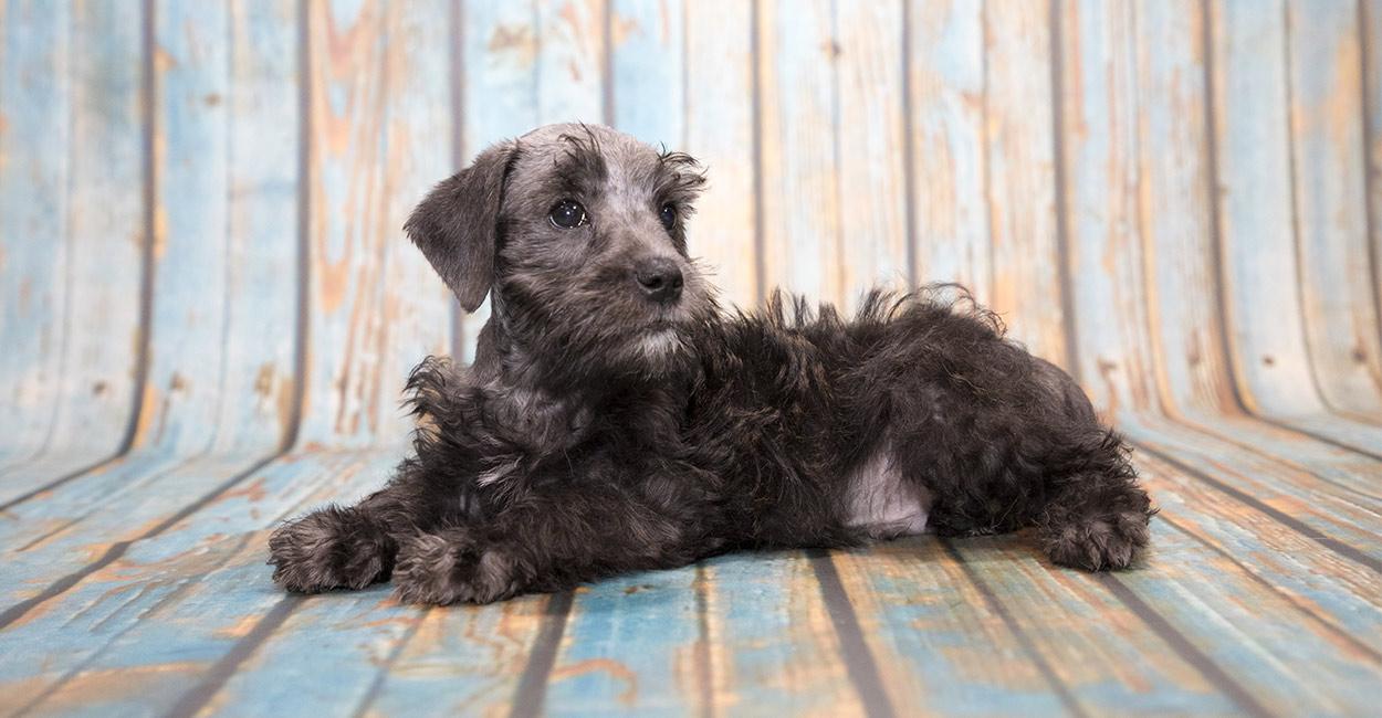 Schnoodle The Schnauzer Poodle Mix